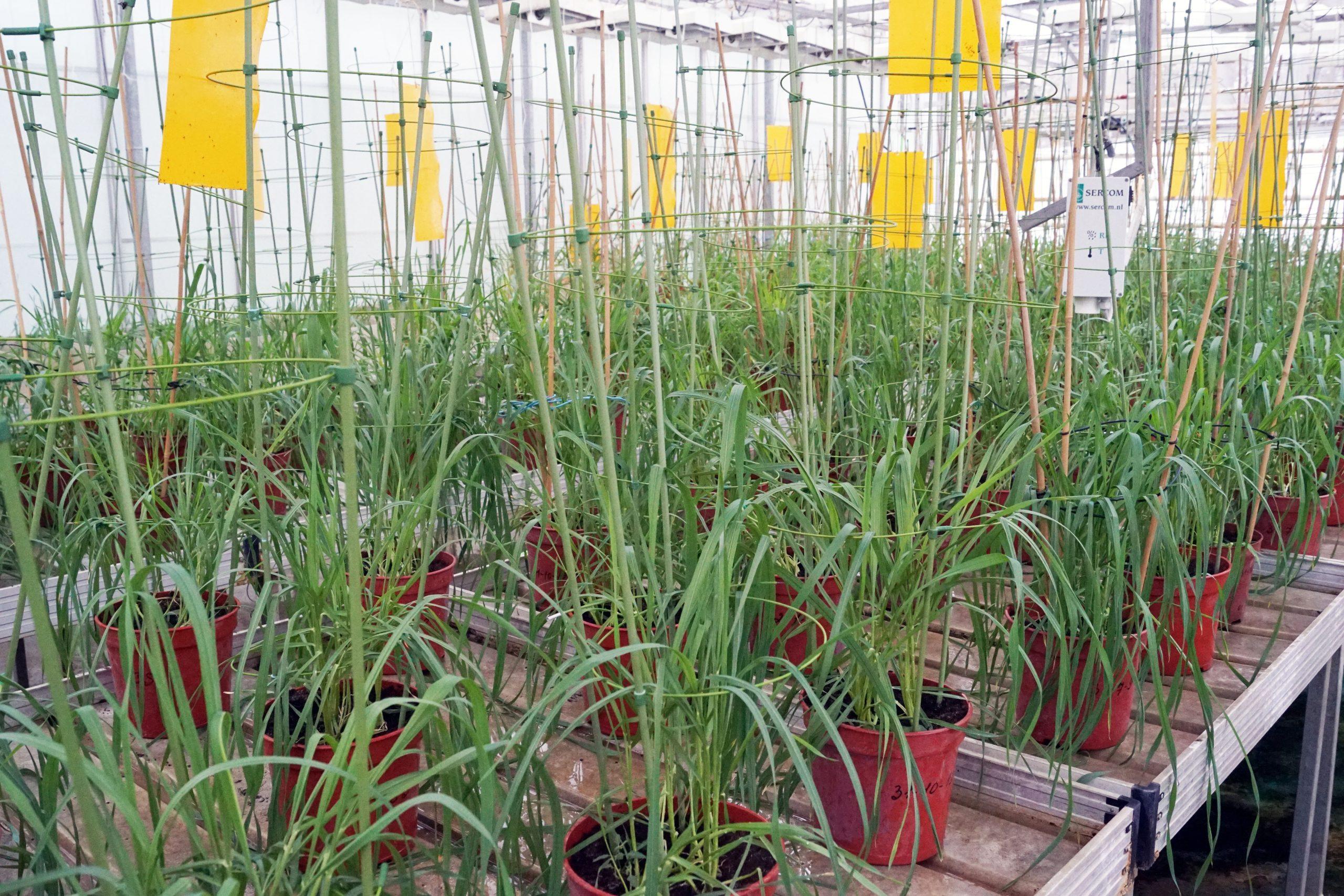 Ученые отредактировали геном мягкой пшеницы