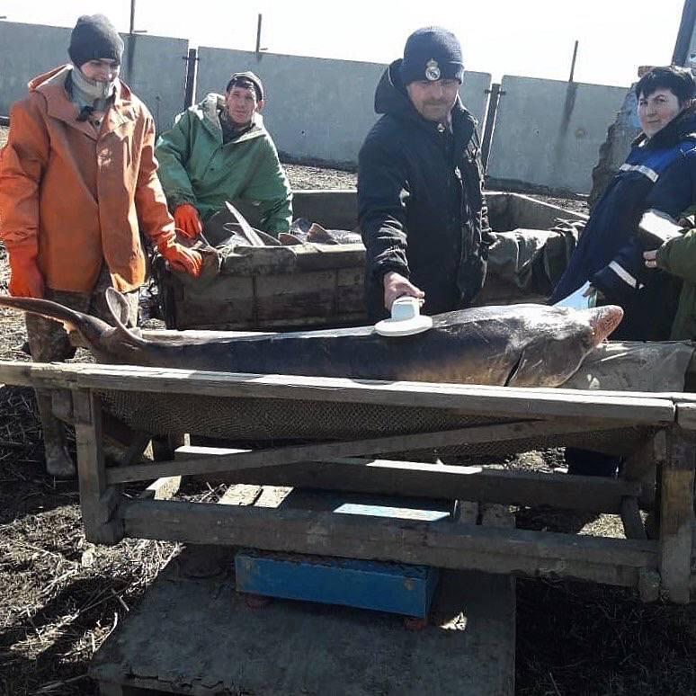 Специалисты Главрыбвода выпустят в реку Дон 2,4 млн мальков осетровых