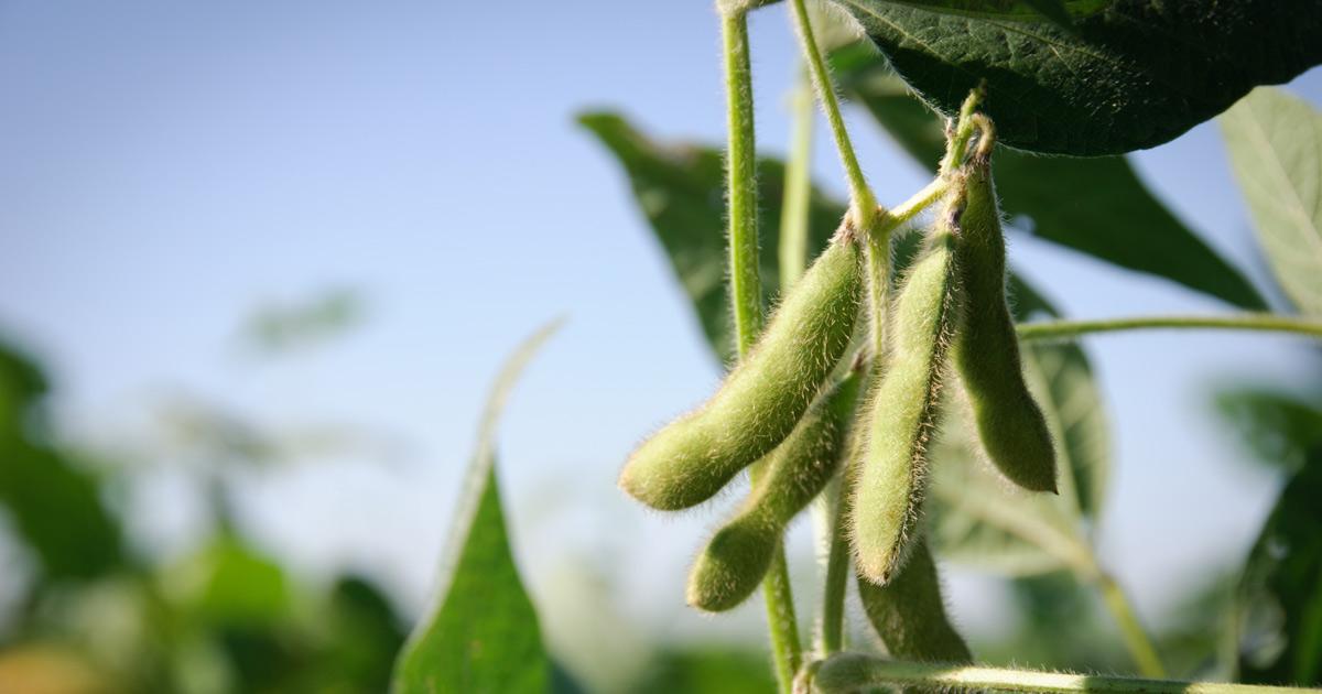 Биоинновация из Мордовского наноцентра повысила урожайность бобовых культур на 12%